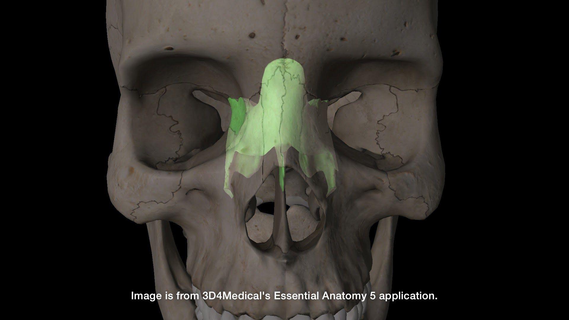 Bones of the Human Skull - Study Guide Presentation - Alyvea.com ...