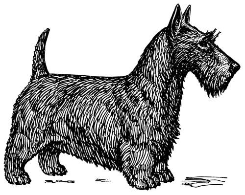 Line Drawing In Html : Pack of 12 parchment gift tags line drawing scottish terrier *** you