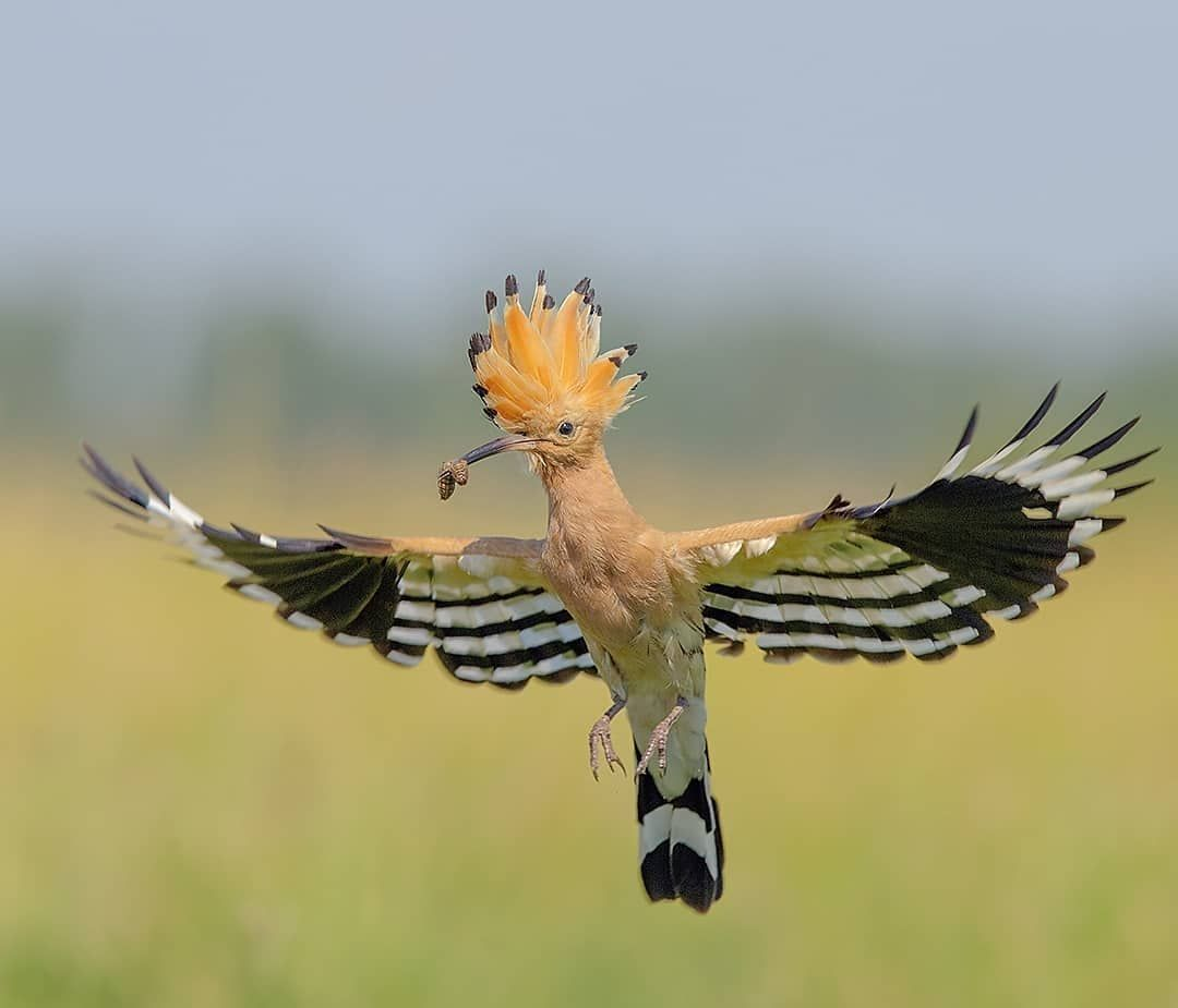 Hoopoe Hop Canon1dx Canon 300mm F2 8 Is Your Best Birds Bestbirdshots Yourshotphotographer Bird Brilliance Bird Pictures Bird Photography Bird