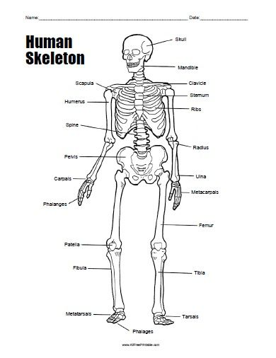 free printable human skeleton worksheet