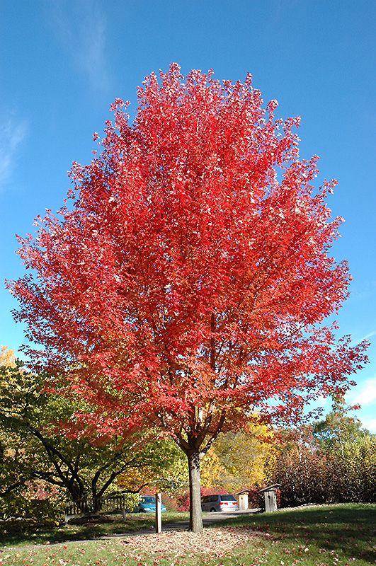 Autumn Blaze Maple Acer X Freemanii Jeffersred At Gertens Autumn Blaze Maple Deciduous Trees Plants