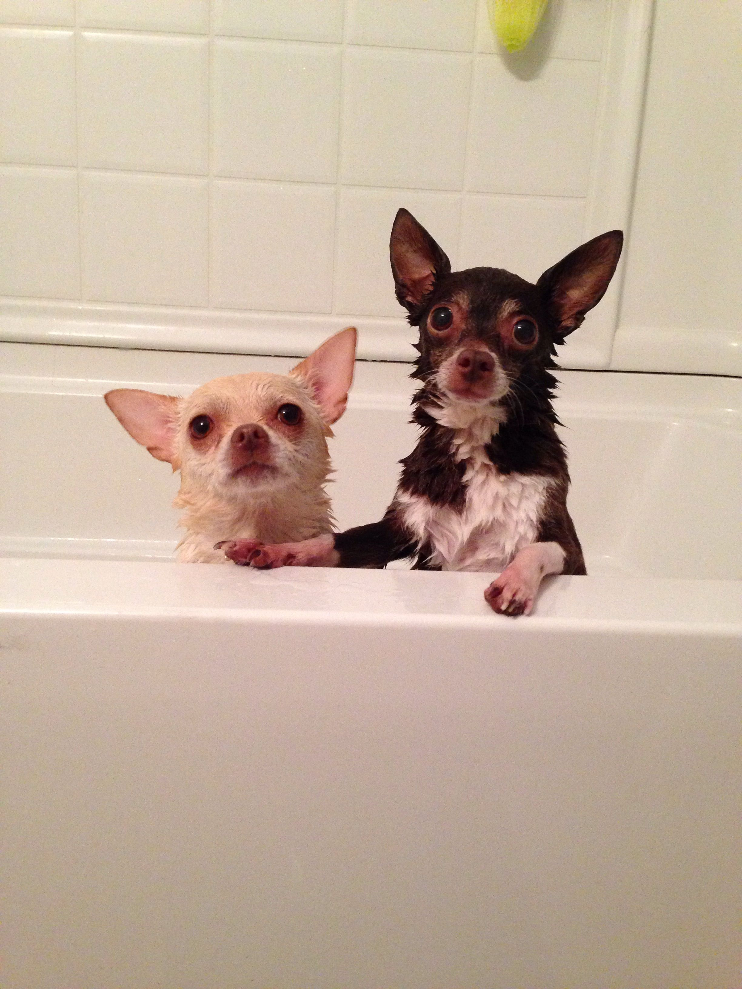 Bath Night Cute Chihuahua Chihuahua Love Baby Animals
