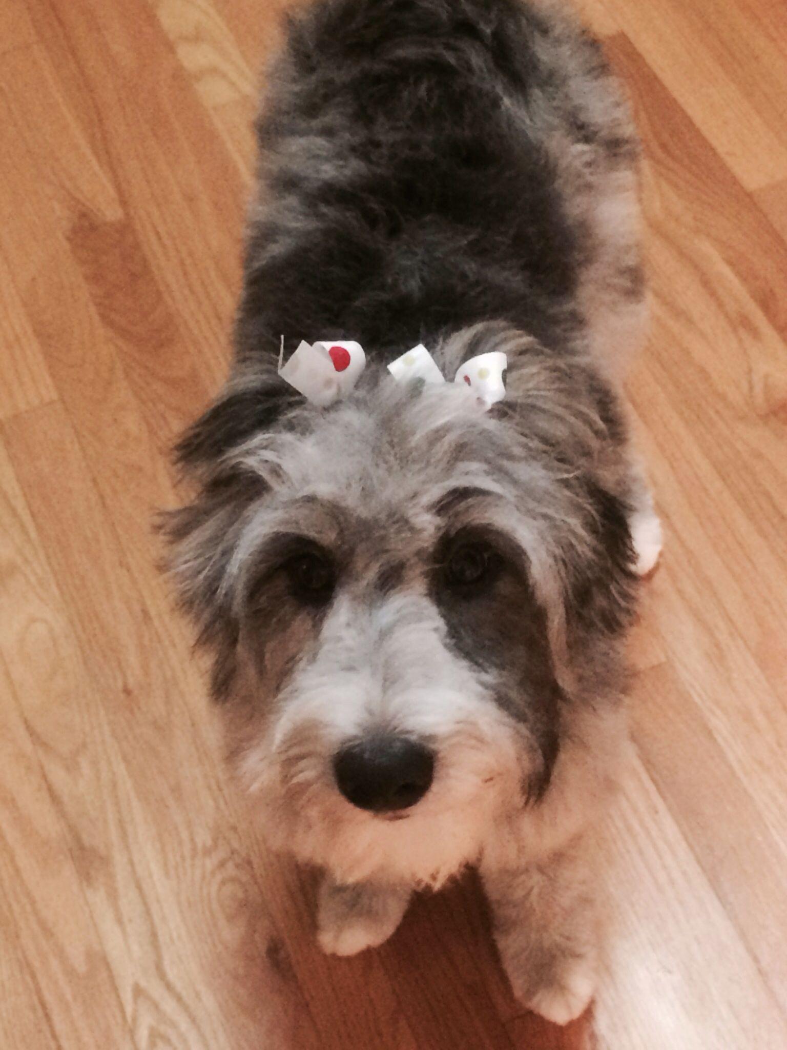 Australian shepherd and st poodle mix | dogs | Pinterest