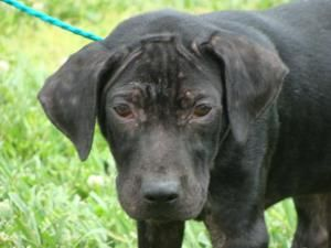 Adopt Gilbert Urgent Demodectic Mange On Puppies Labrador