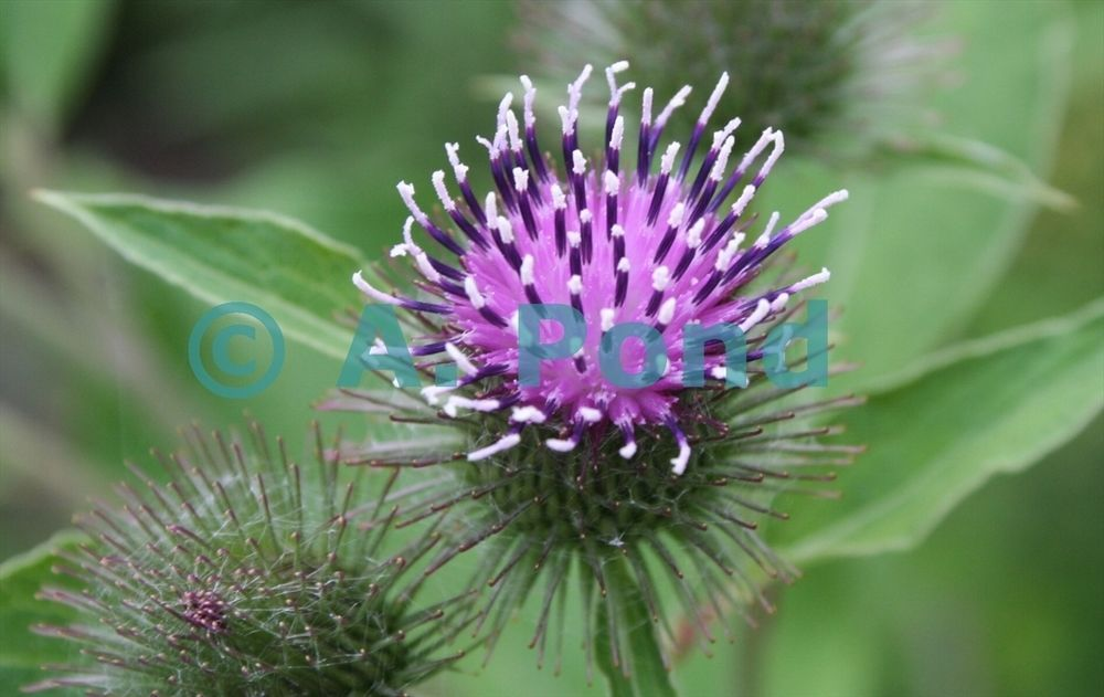 Big Purple Scottish Thistle flower Photograhy Download