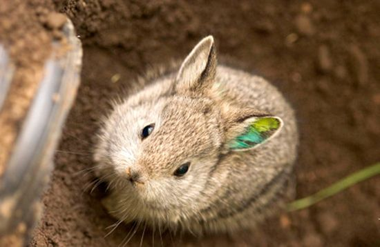 Endangered Pygmy Rabbits Reintroduced To Wild Niedliche Tierbabys Susseste Haustiere Susse Tiere