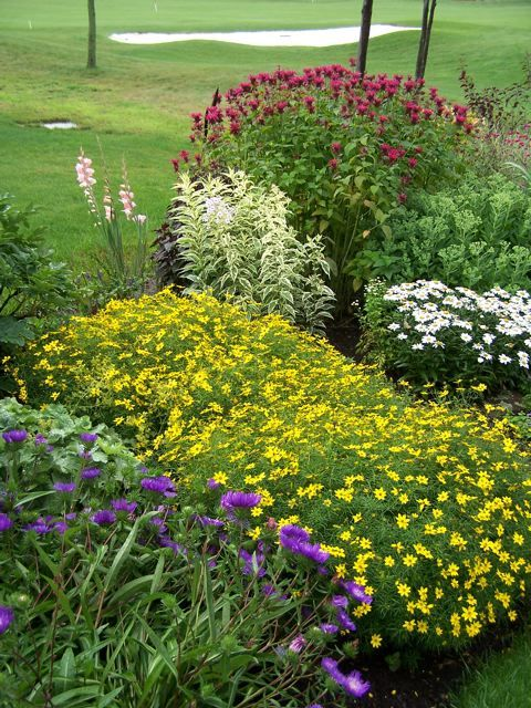 Great Planting Combinations Yellow Coreopsis Zagreb Next To The Purple Stokesia Behind Coreopsis Is A Variega Plants Landscaping Shrubs Plant Combinations