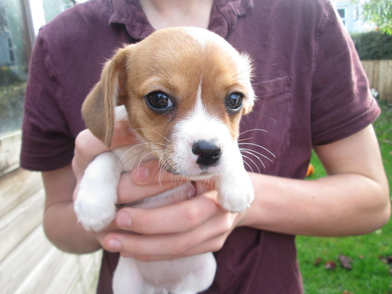 Google Image Result For Https Www Pets4homes Co Uk Images Classifieds 2015 11 02 1125671 Large Cavalie Chihuahua Puppies Chihuahua Chihuahua Puppies For Sale