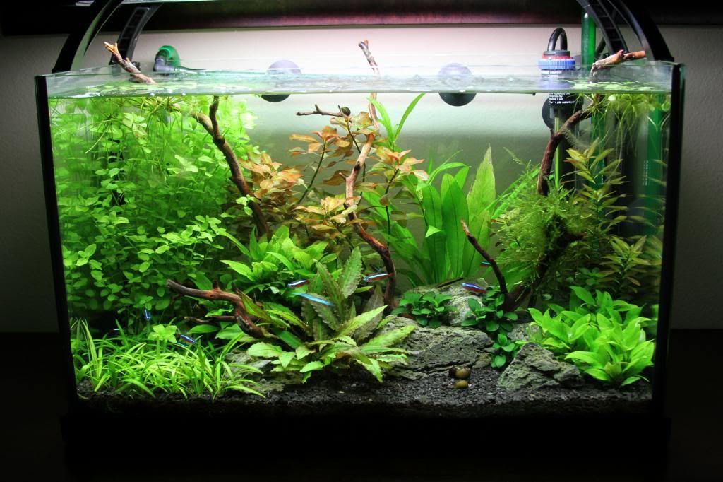 10g low tech flora dwarf sag crypt wendtii green anubias for Amazon fish tank