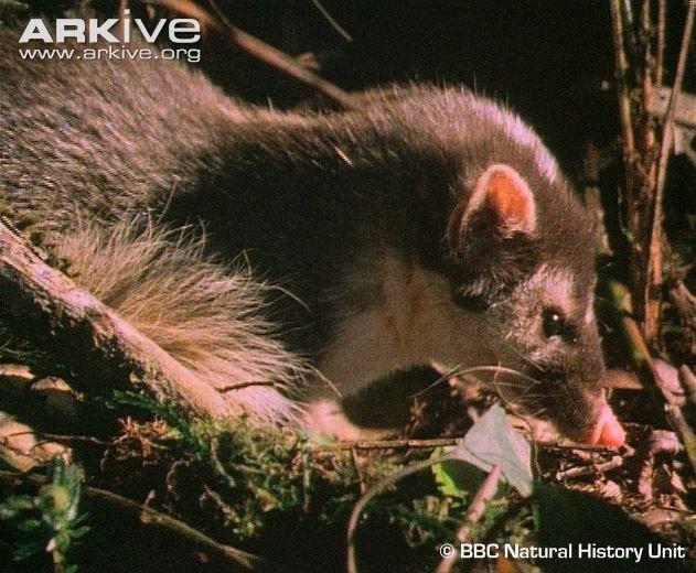 Kinabalu ferret-badger