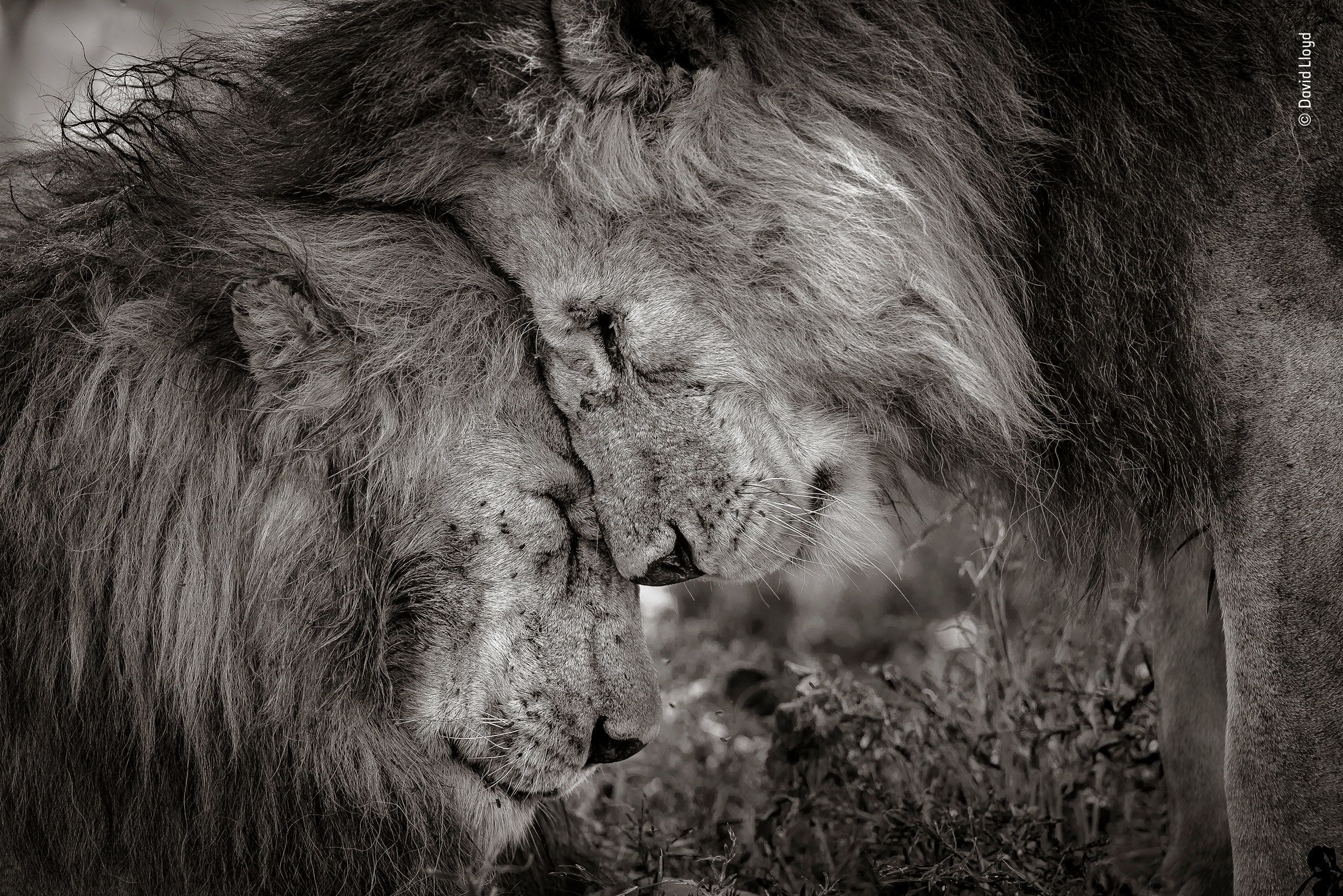 Wildlife Photographer Of The Year S Winning Photo Is A Valentine S Day Treat Wildlife Photography Male Lion Wildlife