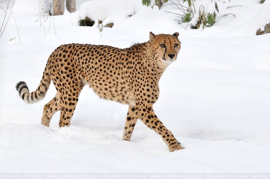 """male Cheetah (Acinonyx jubatus) """"Wapesi"""" - Zoo Vienna (Tiergarten Schönbrunn), Austria"""