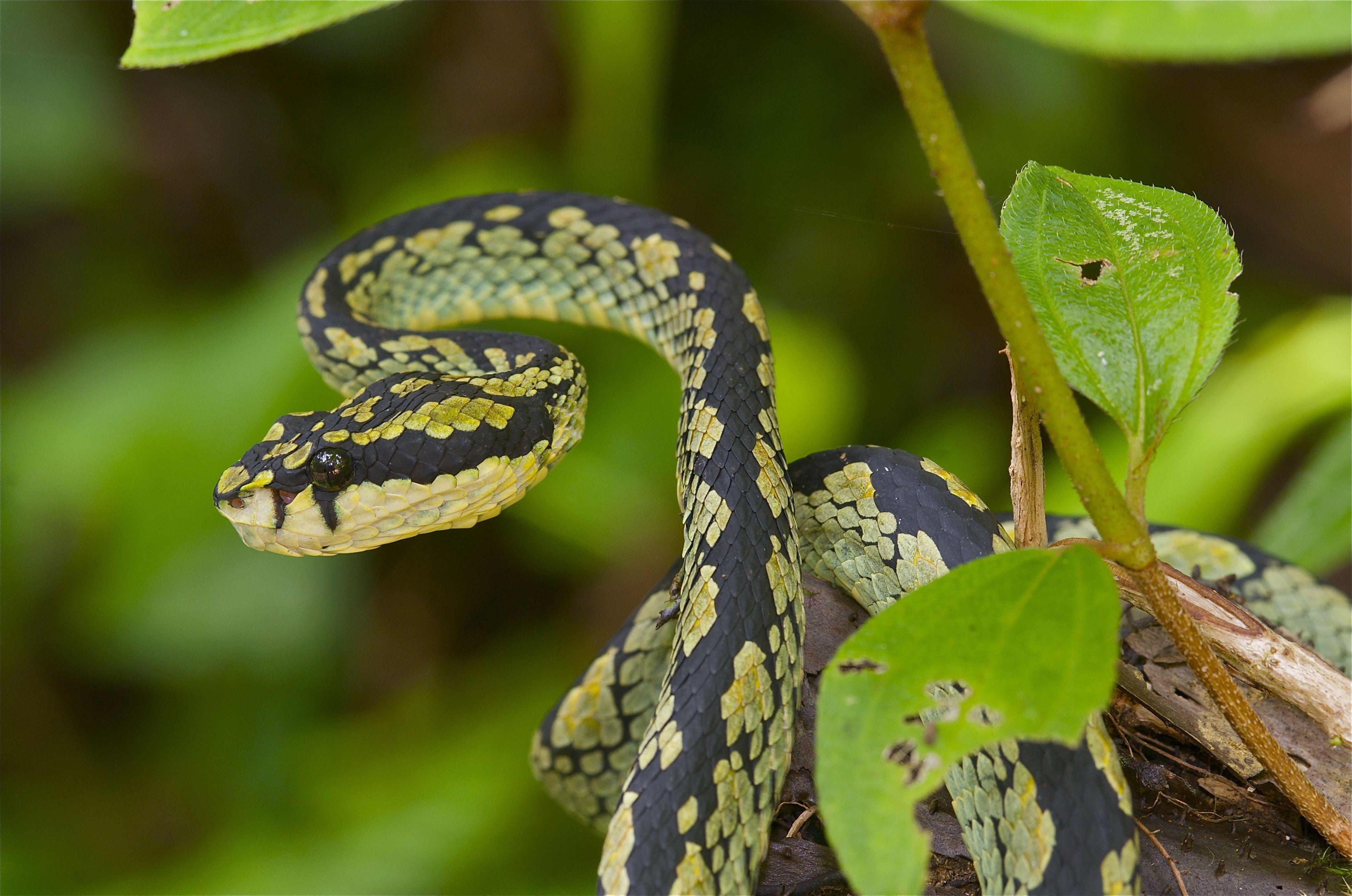 Sri Lanka - Green Pit Viper Trimeresurus trigonocephalus