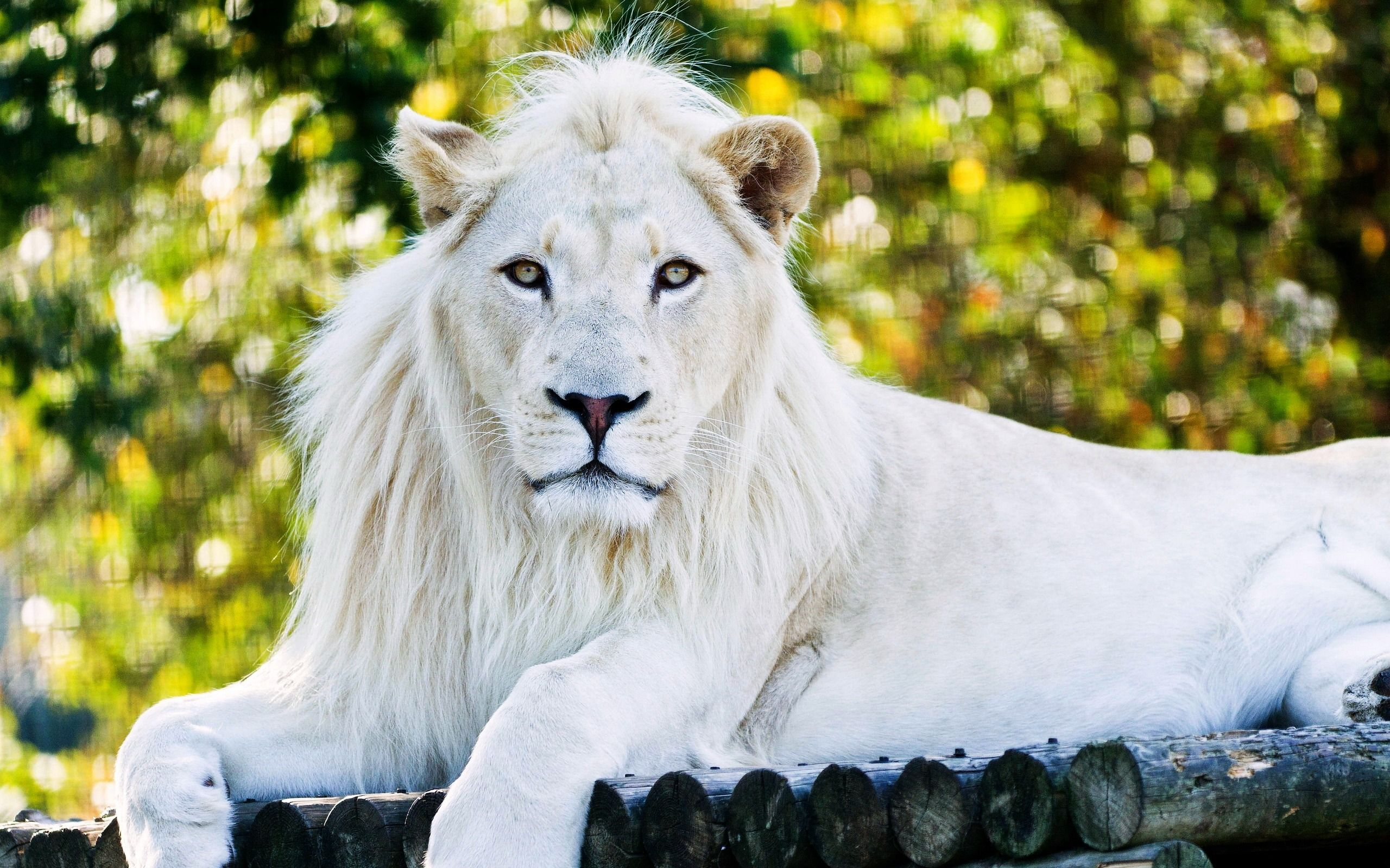 2560x1600 White Lion Wallpaper Background Image View Download Comment And Rate Wallpaper Abyss White Lion Images Lion Wallpaper White Lion