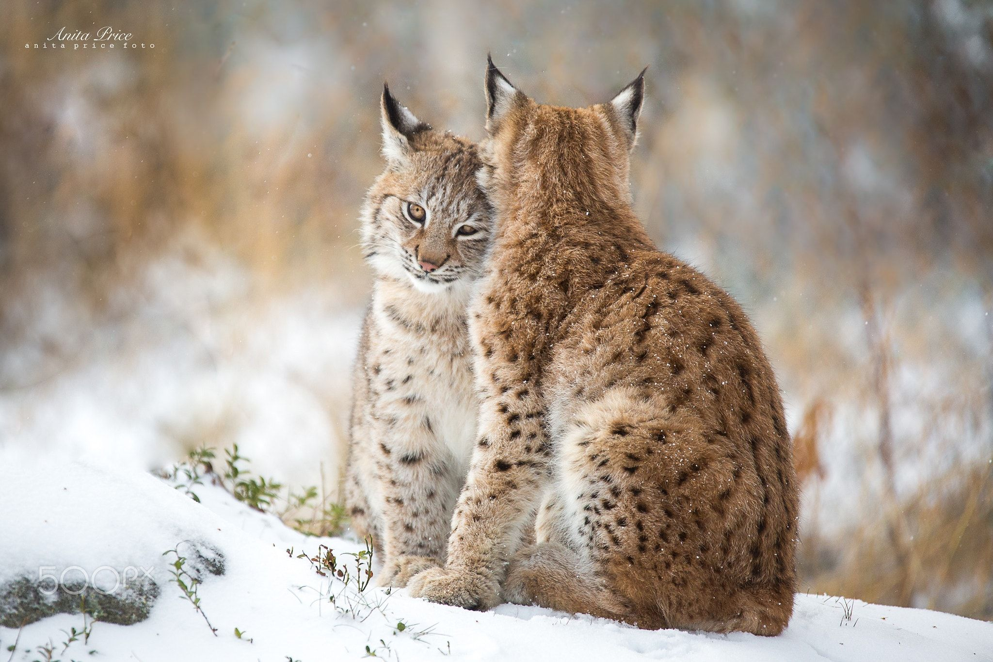 Lynx Love II - Two lynxes cuddling and hugging each other ...