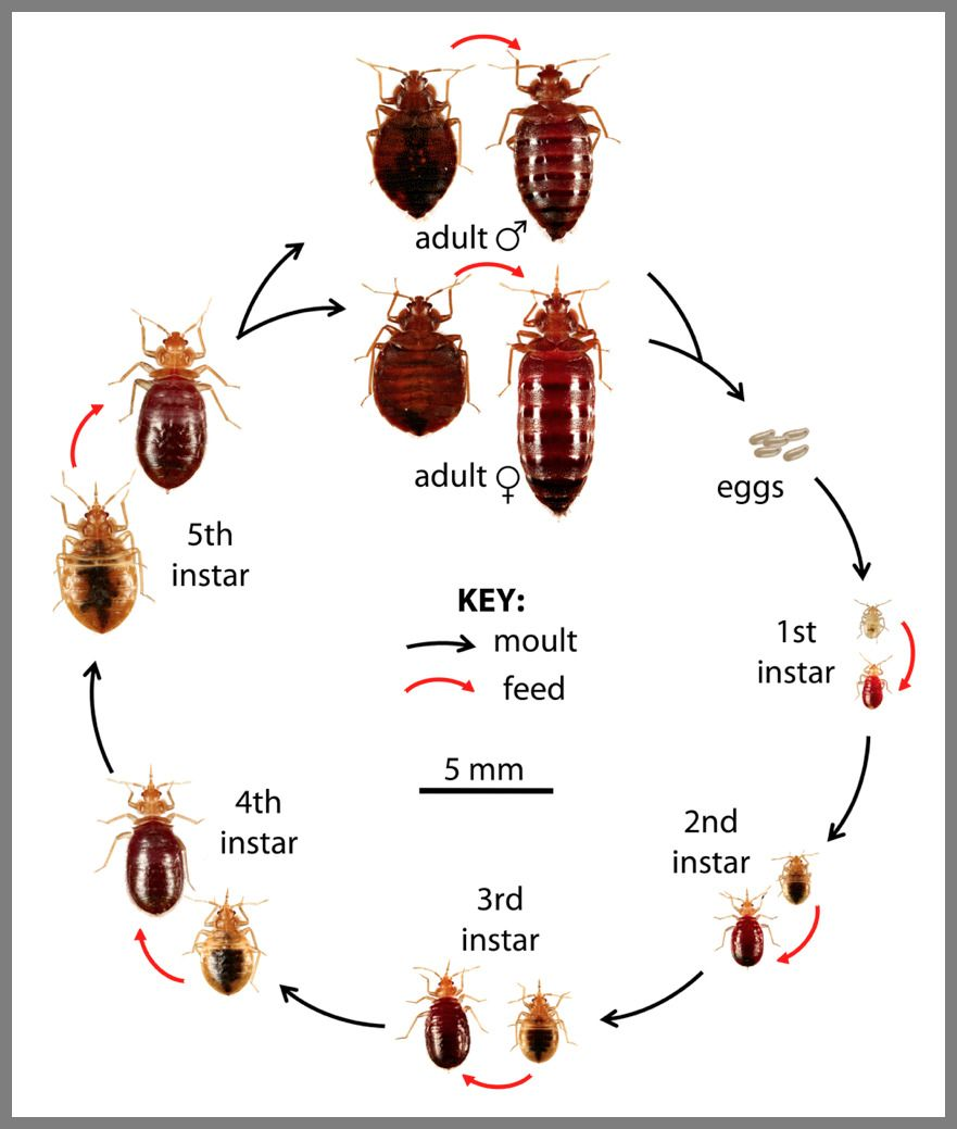 49 Reference Of Shed Colors Bed Bug In 2020 Rid Of Bed Bugs Bed Bugs Bed Bugs Treatment