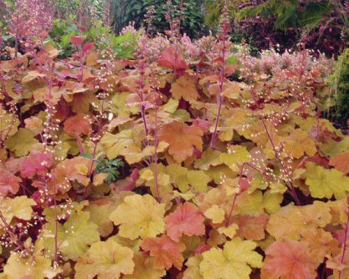Caramel Heuchera Plant (coral bells) | Garden | Pinterest ...