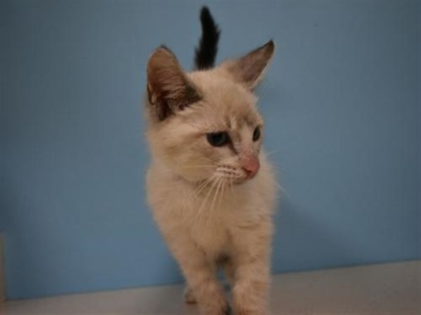 This Adorable Little Kitten Is Playful And Sweet Play Is An Important Part Of His Development At This Age And He Will Need You To Be Patient With Him As He