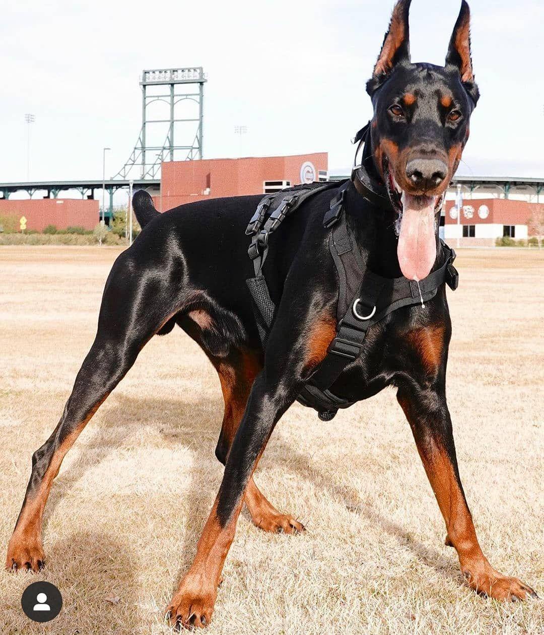 [12+] Clanton Doberman Dog Puppies For Sale Or Adoption Near Me