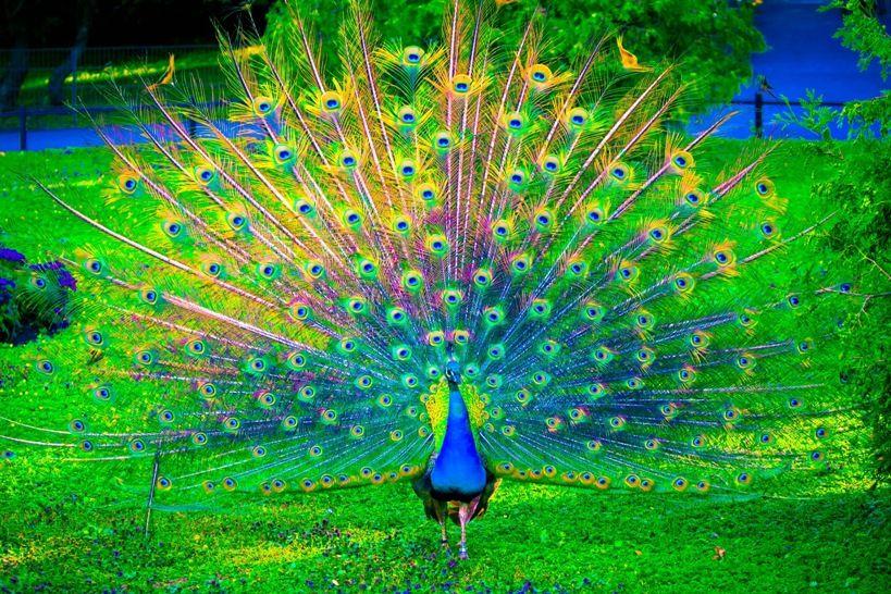 Gambar  Burung  Merak  Yang Begitu Cantik Bulu burung  merak