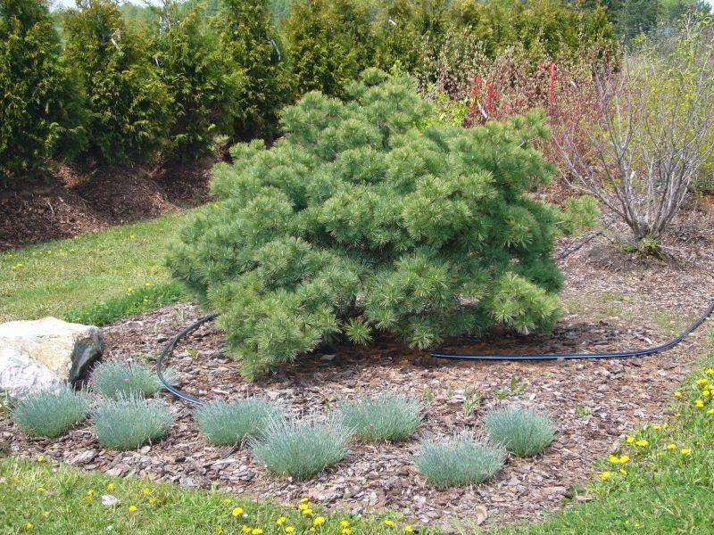 blue shag white pine