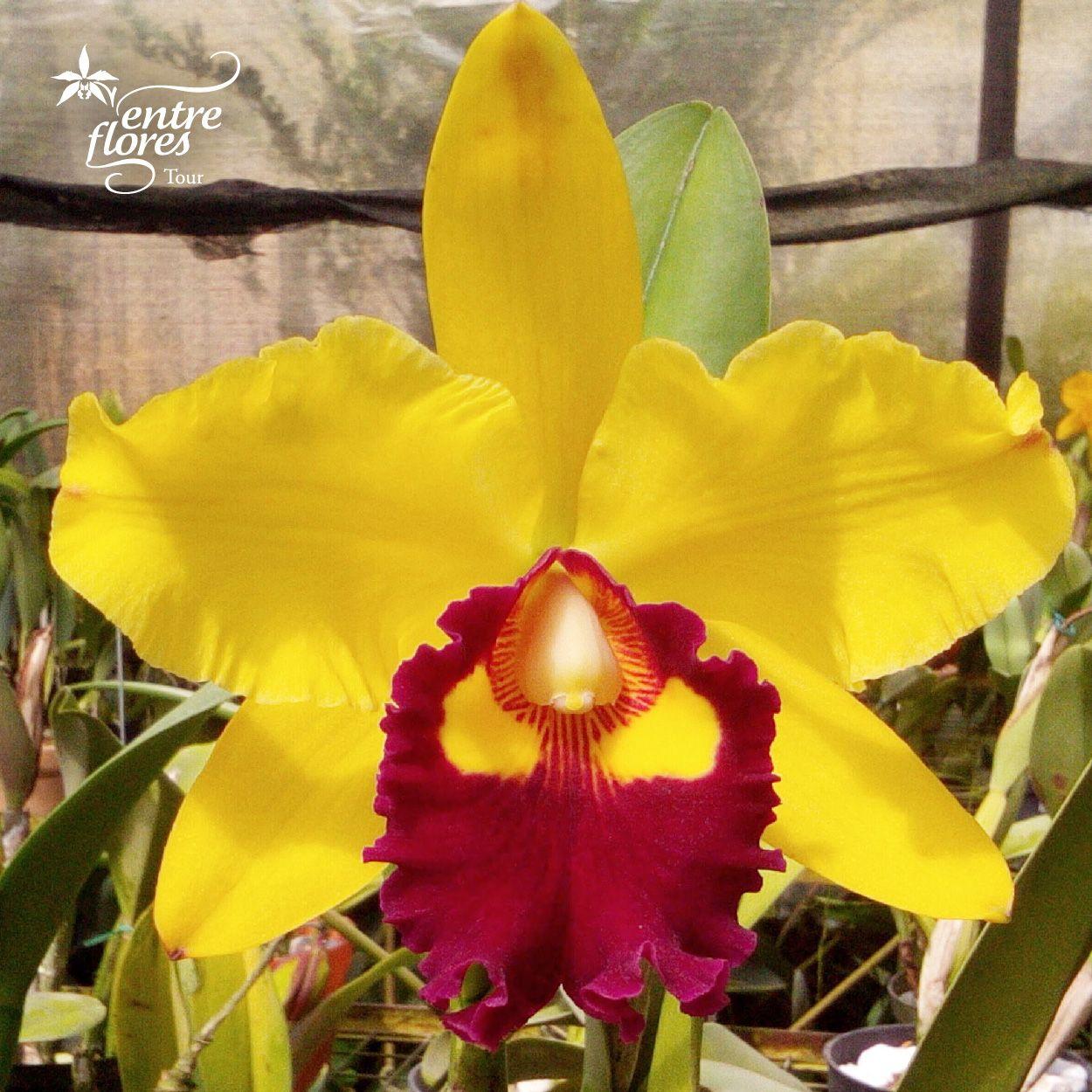 Entre las orquídeas, algunas de las especies tienen la reproducción asexual, es decir que no necesitan de polinización para su reproducción.   Among the orchids, some species have asexual reproduction, this means they do not need pollination for reproduction.