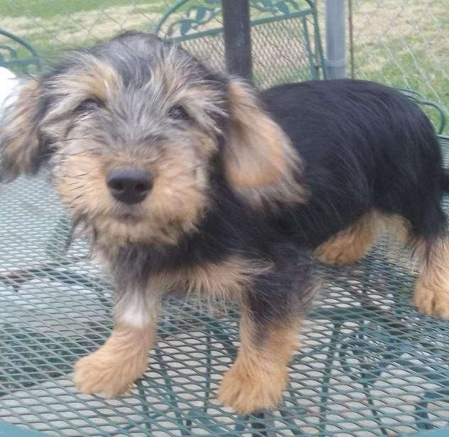 Adopt ZACK 11 LBS on (With images) Yorkshire terrier