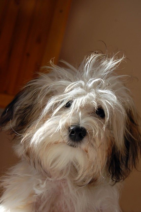 Movies For The Weekend Play The Film Game Havanese Puppies