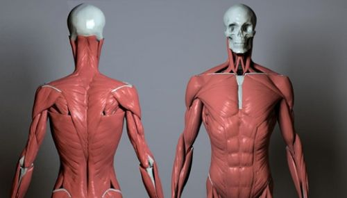 Artistic Anatomy In Zbrush Uartsy Cgtorrs For Future