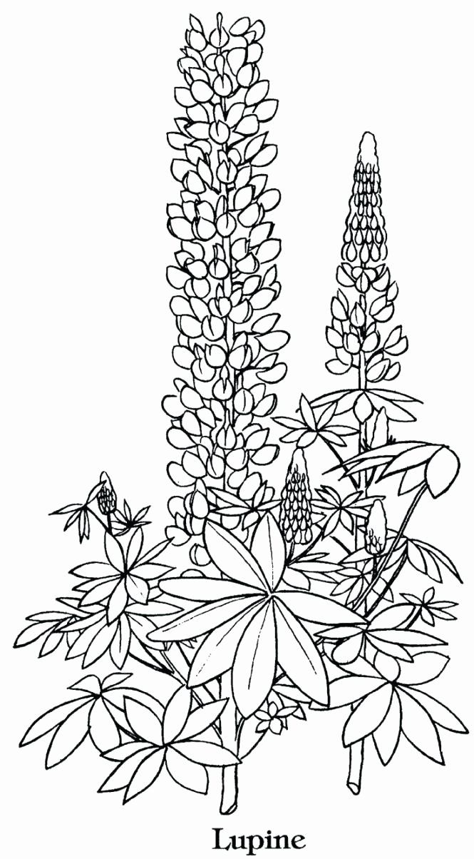 Coloring Pages Of Lavender Flowers Fresh Legend Of the Bluebonnet