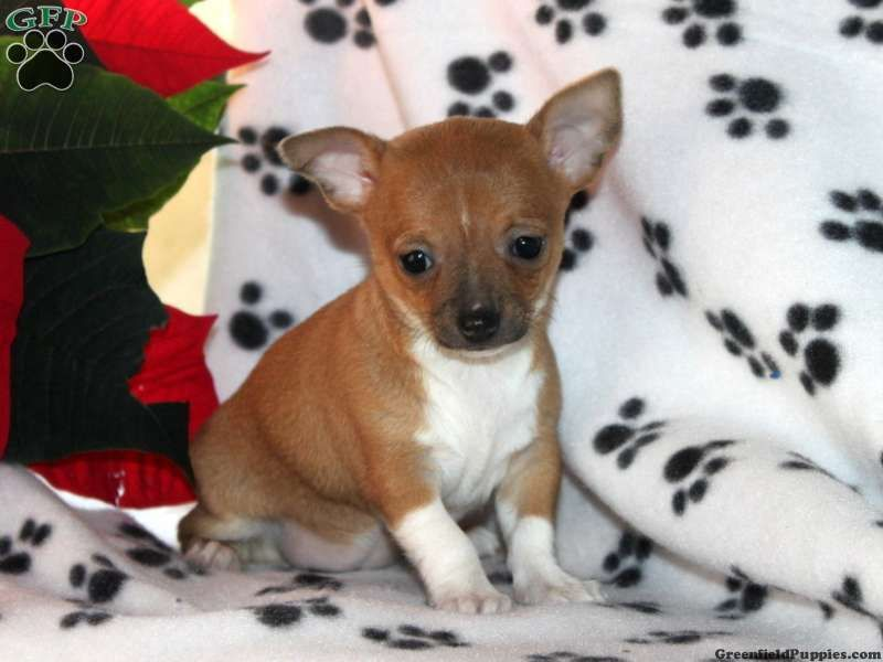 Rebecca Chihuahua Puppy For Sale From Paradise Pa Chihuahua