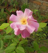 Rose musquée - La rose musquée est une plante médicinale connue pour l'huile extraite de ces graines, elle est une huile essentielle anti rides visage. L'églantier à feuilles odorantes, l'autre nom de la rose musquée possède des vertus régularisatrice de l'organisme, elle agit sur le cyc... http://www.complements-alimentaires.co/wp-content/uploads/2014/10/rose-musquee-rosa-rubiginosa.jpg - Par Nathalie sur Compléments alimentaires  #Lesplantes