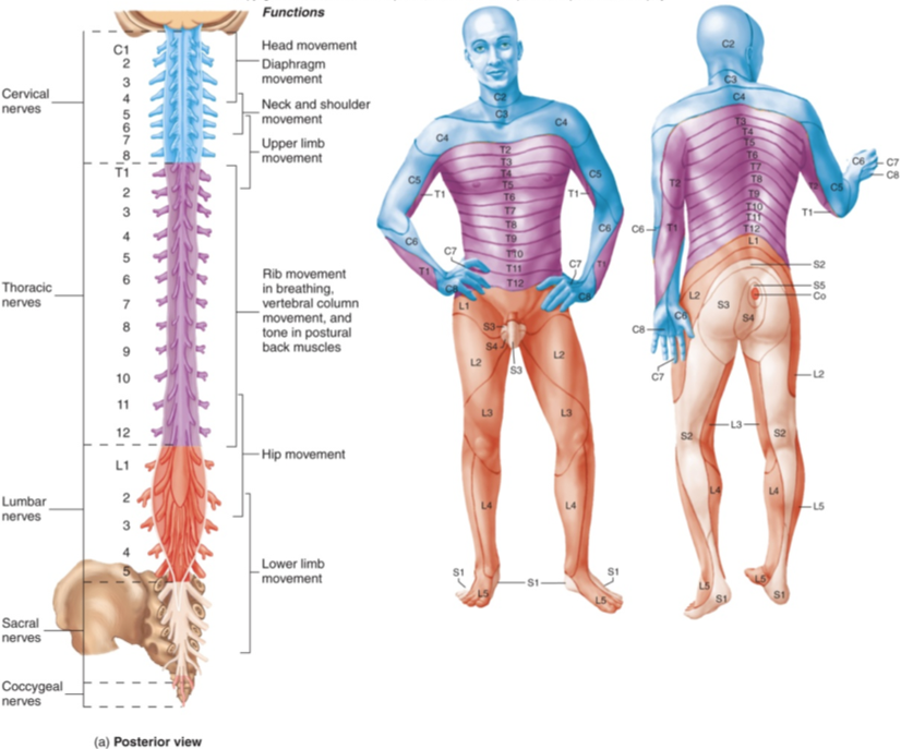 Human Anatomy Diagram, L4 Spine Understanding Of The Spinal Doctors ...
