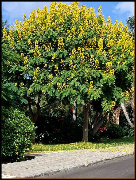 Senna spectabilis Cassia spectabilis Beautiful Flowering Trees