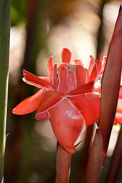 Torch Ginger (Etlingera elatior) also known as the Red Ginger Lily,