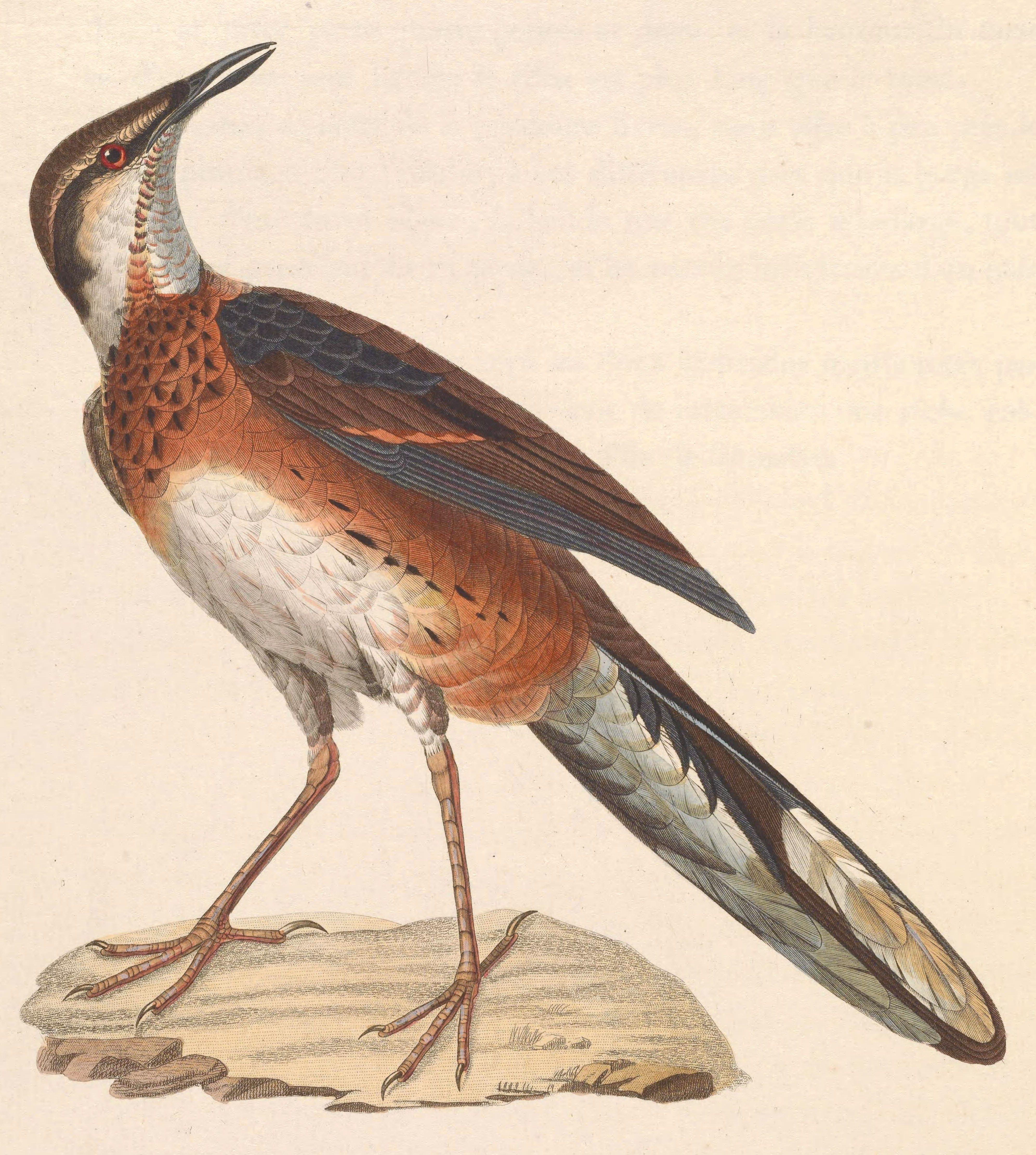 5582. Painted Quail-thrush (Cinclosoma ajax) | Indonesia, Papua New Guinea