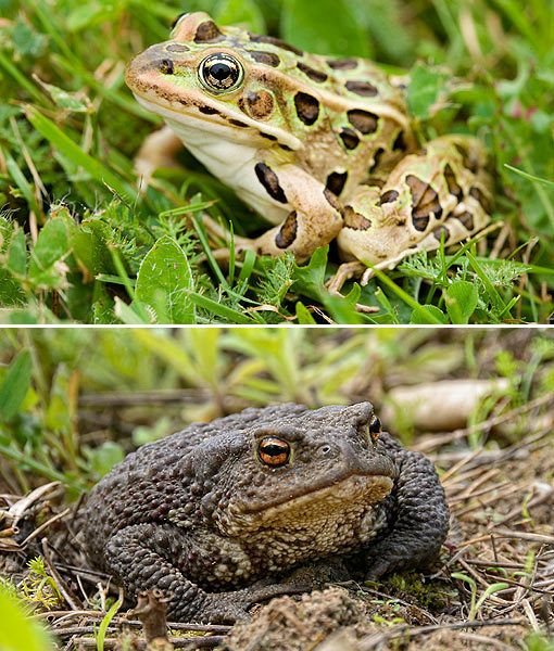 Amazing Frog: Frogs Vs. Toads, Know The Difference (: