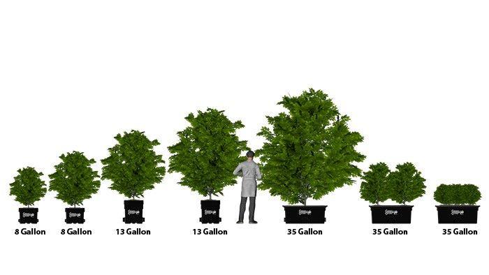 15 Gallon Tree Size Google Search Yard Art Garden Landscaping Gallon