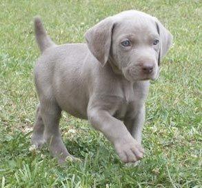 weimaraner puppy! I looooove gray dogs