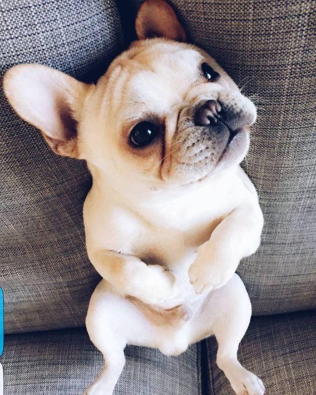 Carl Winslow The French Bulldog Puppy French Bulldog