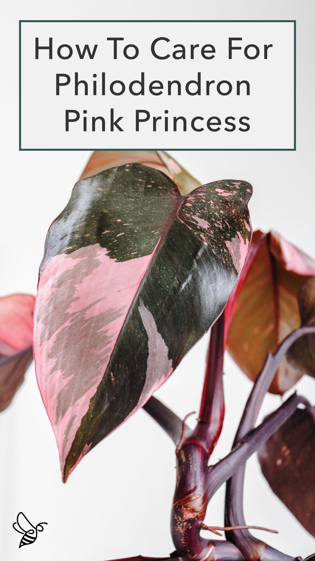 how to care for philodendron pink princess