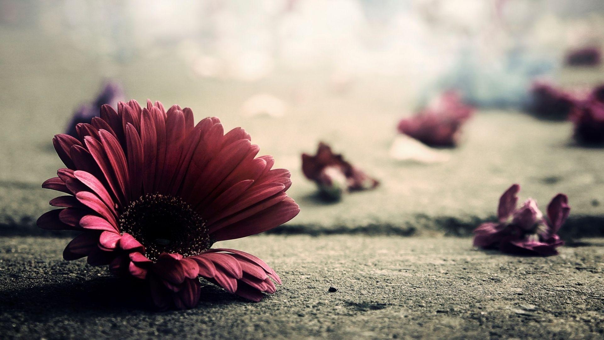 flower, petals, fragile - http://www.wallpapers4u.org/flower-petals-fragile/