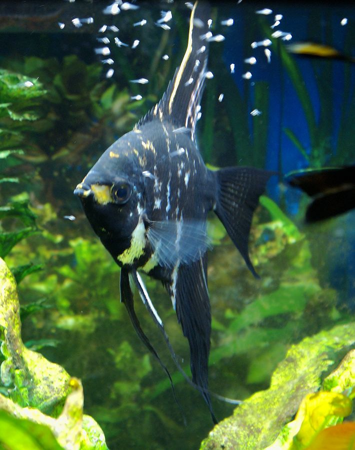 Angel fish angelfish breeder protecting the fry go for Freshwater angel fish