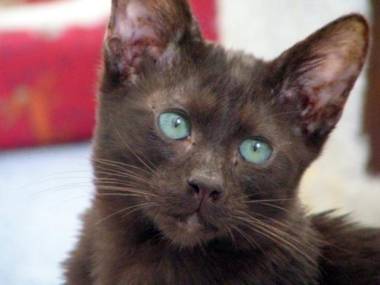 Havana Brown Cat Pictures