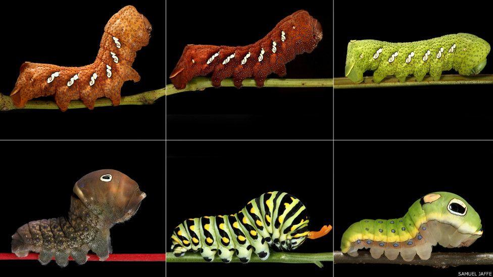 Transformações radicais: americano registra a vida das lagartas