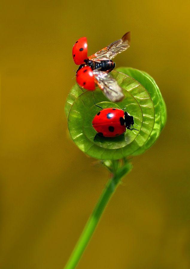 """""""Come fly with me, baby!"""" said the GentleBug to his ladylove, the LadyBug! ...♥bingT✿ܓ"""