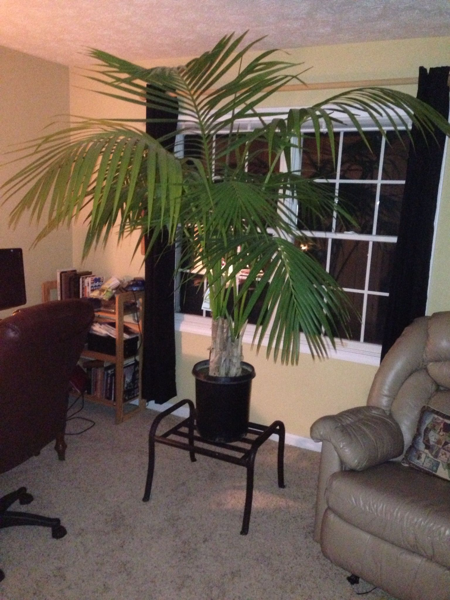 My Favorite Palm, A Graceful And Rather Large Kentia Palm