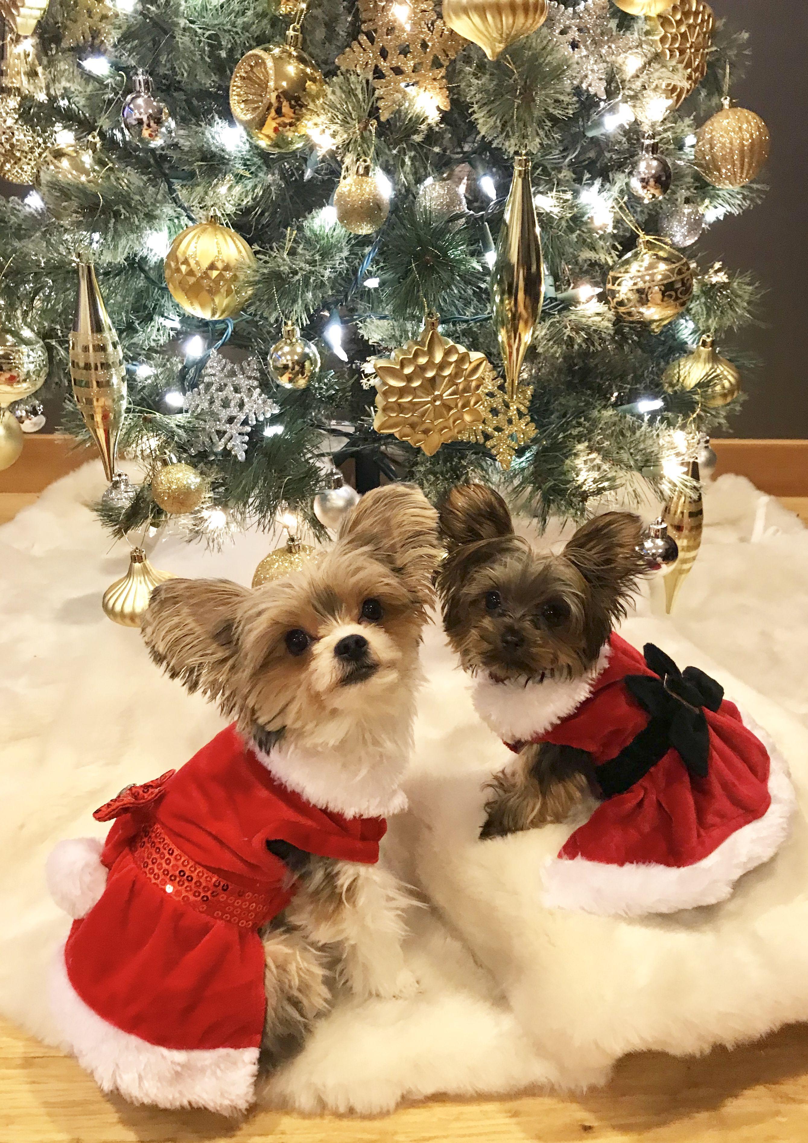 Pin By Sarah Jones On Parti Yorkie Rylee Christmas Animals Yorkshire Terrier Christmas Cats