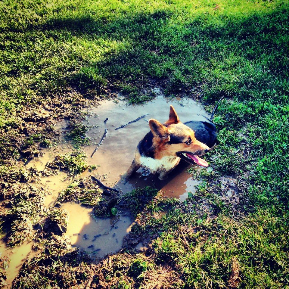 "Wallace the ""Mud Dog"" Corgi."