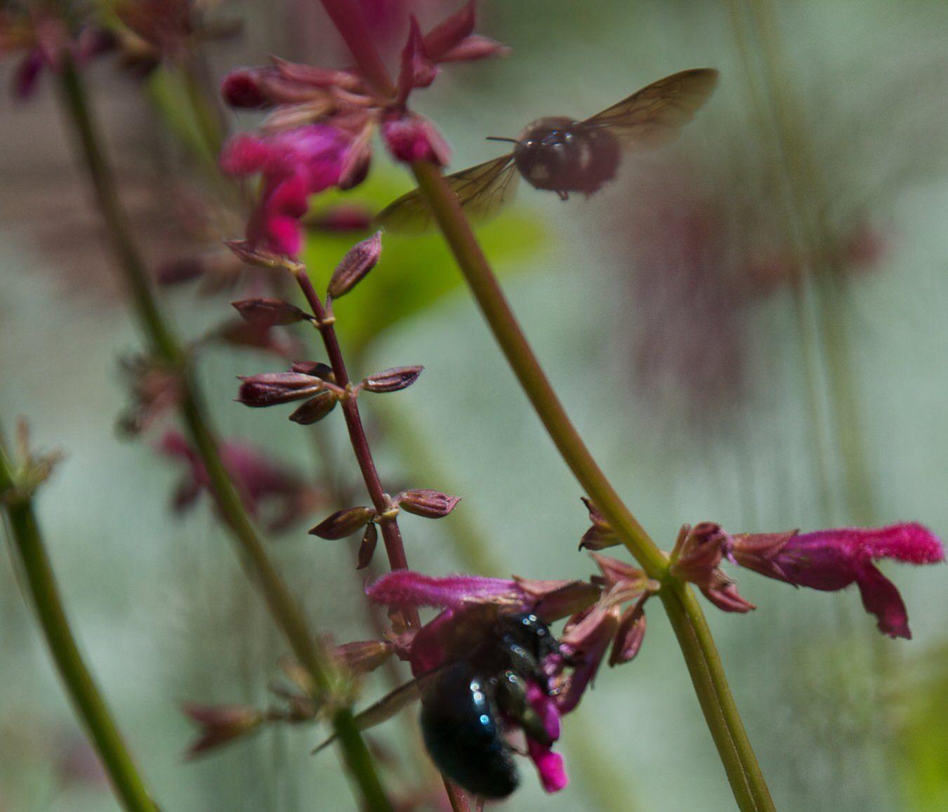 Bee Halictid Ceratina Chiapas Sage Salvia Outside Instyle Landscape
